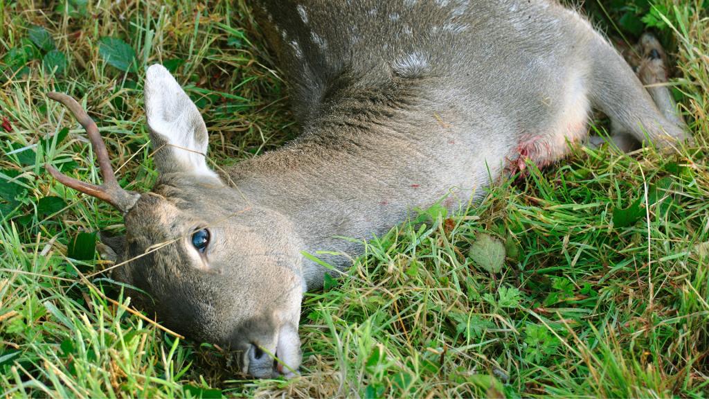 animale selvatico ferito
