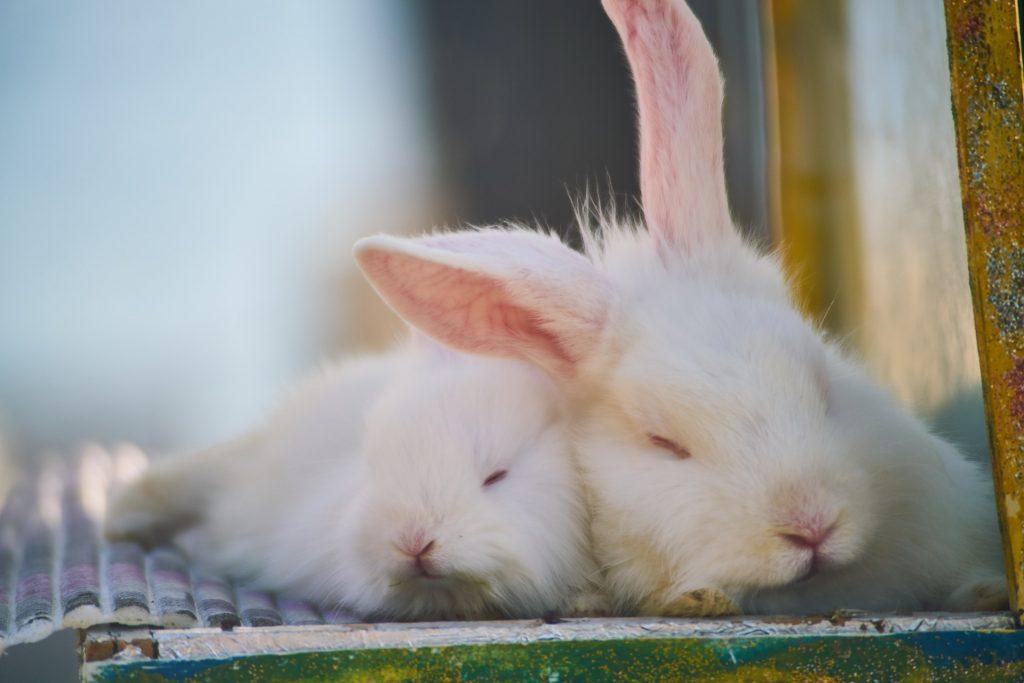 adottare un coniglio