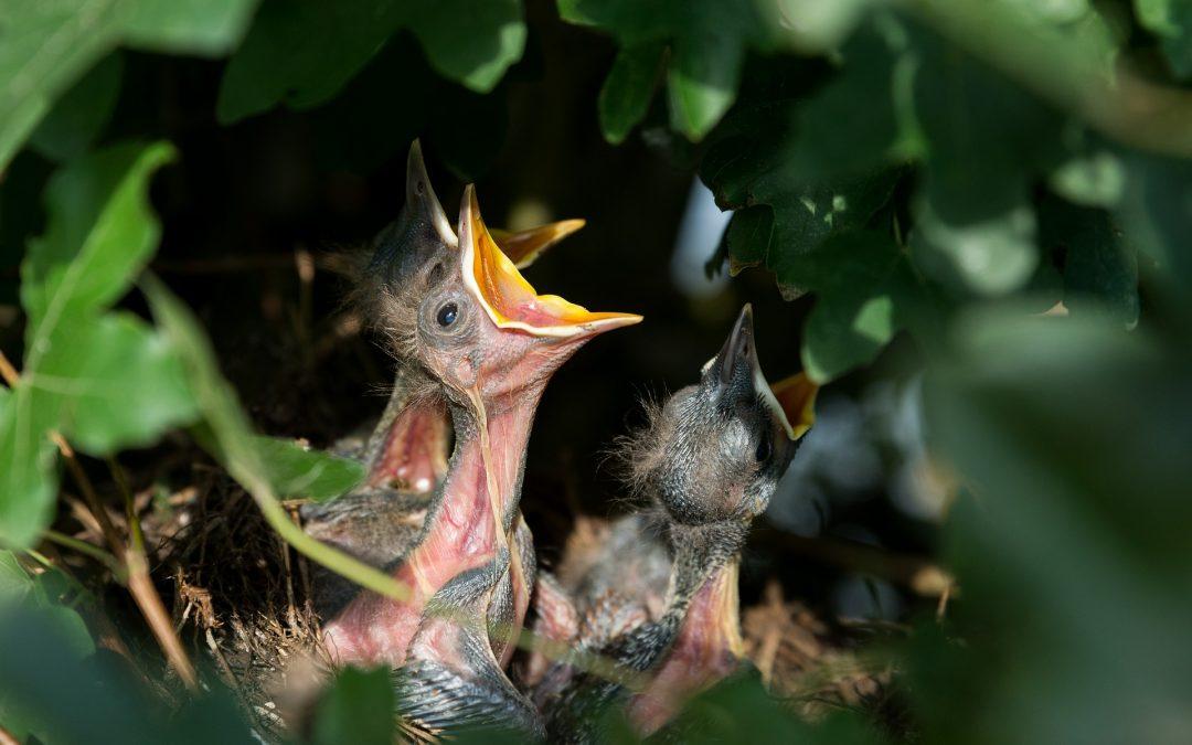 Uccellino caduto dal nido. Cosa fare?